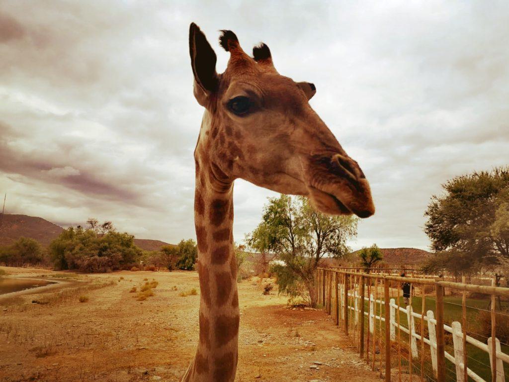 Der Kopf einer Giraffe